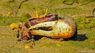 Boca-cava-terra // European Fiddler Crab (Uca tangeri), male