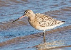 JWL0301  Bar tailed Godwit.. (jefflack Wildlife&Nature) Tags: bartailedgodwit godwit godwits birds avian animal animals wildlife wildbirds waterbirds wetlands waders seabirds shorebirds seashore countryside coastalbirds lakes estuaries estuary reservoirs marshland marshes mudflats harbours norfolk nature