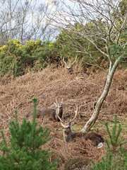 2018.04.02 Arne (5) (Kotatsu Neko 808) Tags: arne rspbarne rspb dorset deer sika sikadeer wildlife