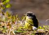 Grey Hooded Warbler (Mohsan Raza Ali Baloch) Tags: nature wild wildlife wildlifelover birds birdwatcher birdlover naturelove mohsans islamabad pakistan
