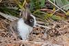 Lapin (1) (boisvertvert1) Tags: rabbit lapin mignon michelboisvert 2018 animaux crandonpark keybiscayne floride florida faune parc park usa