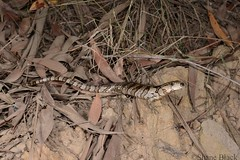 Pink-tongued Skink (Cyclodomorphus gerrardii) (shaneblackfnq) Tags: pinktongued skink cyclodomorphus gerrardii shaneblack lizard reptile watagans nsw new south wales australia pink tongue
