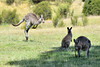 Kangaroos-2 (johnaalex) Tags: canberra australia d850 kangaroo marsupial nikonafs80400f4556g