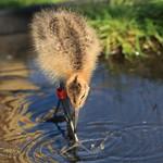WE-GT-Project Godwit rearing pens Denver, Credit WWT