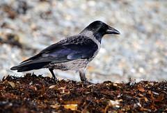 Hooded Crow (1V4A0269) (shelleyK2) Tags: hoodedcrow bird nature wildlife isleofman beach douglas seaweed springwatch winterwatch outdoor canoneos7dmarkii sigma animal crow corvid