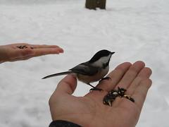 Feeding the chickadees at Hilton Falls (Sean_Marshall) Tags: hiltonfalls conservationarea milton ontario halton niagaraescarpment