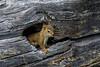 Squirrel (Greg @ Montreal) Tags: tamiasciurushudsonicus americanredsquirrel chickaree écureuil treetrunk troncdarbre wildlife animal animaux banff alberta canada banffnationalpark nikon nikonpassion d7100