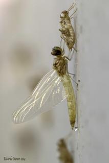 Trithemis annulata. Emergencia