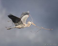 Talk Softly... (pandatub) Tags: ebparks ebparksok bird birds heron greatblueheron nesting shadowcliffs