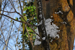 A parrot in Winter? (jeangrgoire_marin) Tags: bird green exotic winter snow invasive parakeet
