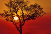 Fire Sunset in Kruger park (Alessandro.Buffa) Tags: silhouette silhouetted scenic scenery red savanna south southafrica tree unspoiled sunset sun southern plant park ecology glowing clouds afternoon african kruger landscape nature outdoor natural national light africa