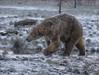 Time for my white coat? (joannekerry) Tags: polarbear bear wildlife yorkshirewildlifepark nature canon snow