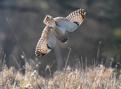 Short Eared Owl Asio flammeus 122-1 (cwoodend..........Thanks) Tags: gloucestershire hawling shortearedowl shortie owl raptor wildlife asioflammeus seo hunting quartering