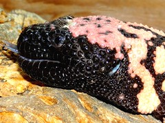 Profile (EcoSnake) Tags: grumpy bandedgilamonster helodermasuspectumcinctum lizards venomous profile