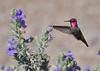 Phoenix 2018 - Annas Hummingbird Male 1 (casanova.frankenstein) Tags: phoenix arizona wildlife sage hummingbird annas bird