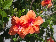 Street Hibiscus (LarryJay99 ) Tags: 2018 lakeworthstreetpaintingfestibal urban festivals crowds florida plants flowers urbannature foliage green greenery hibiscus nature colors lakeworth buds leaves blossoms blooms bokeh
