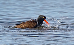 Black Oystercatcher - 094A9037ab1c11 (Sue Coastal Observer) Tags: blackoystercatcher bloy haematopusbachmani bathing blackiespit surrey bc britishcolumbia canada