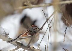 American Tree Sparrow at Sandbar Park (Tombo Pixels) Tags: sandbar180010 american tree sparrow bird sandbarpark nj newjersey twb1 audubonwalk
