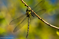 The hunter. (Glotzsee) Tags: nature florida indianrivercounty indianriverlagoon outdoors outside scenery scenic glotzsee glotzseefloridaimages insects dragonfly