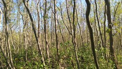 maples coming into understory under tallow (eustatic) Tags: grn