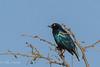 Starling Cape Glossy (mayekarulhas) Tags: krugerpark mpumalanga southafrica za starling canon africa safari bird avian tree sky