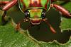 Jewel scarab beetle (Chrysina quetzalcoatli) (edward.evans) Tags: jewelscarabbeetle jewelscarab beetle insect scarab rutelinae rutelidae chrysina chrysinaquetzalcoatli sierradelmerendón merendonmountains honduras cusuco cusuconationalpark cloudforest rainforest wildlife nature centralamerica latinamerica