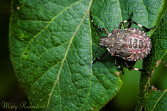 The North American Stinkbug_365-10.jpg
