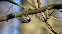 Treecreeper (Certhia familiaris) (jhureley1977) Tags: treecreeper certhiafamiliaris birds birding birdsofbritain britishbirds ashjhureley avibase naturesvoice bbcspringwatch rspbbirders ashutoshjhureley stockerslake rickmansworth rspb