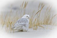 Snowy Owl (rich0234) Tags: nature snowyowl islandbeachstatepark