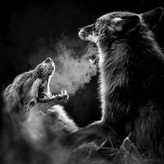 Fighting Foxes (ToriAndrewsPhotography) Tags: zandvoort netherlands fox foxes sand dunes fighting mono black white teeth photography andrews tori