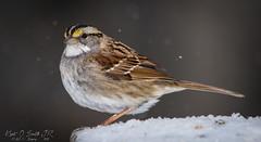 3/52 - White Throated Sparrow (KAOS Imagery) Tags: sparrow bird winter