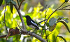 Magpie (aghiljv) Tags: bird tree magpie black forest green guava white morning palakkad kerala godsowncountry incredibleindia india tbt photooftheday throwback leaf branch aghiljvphotography