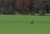 Brocard (Alexmgt) Tags: brocard chevreuil nature wild sauvage liberté freedom champ campagne bretagne france nikon sigma arbres herbe