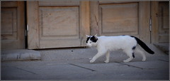 noir et blanc, le chat d'Iran ! (Save planet Earth !) Tags: chat cat amcc nikon iran ispahan travel voyage