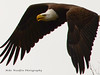 American Bald Eagle (Mike Woodfin) Tags: mikewoodfin mikewoodfinphotography photo picture photography photograph photos photoshop pretty nikon nature canon contrast color eagle bird birds wings beak american americanism americanemblem americaneagle baldeagle flight sky brown awesome cool beautiful raptor