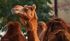 Enjoying life as a stud camel - Bikaner camel farm in Rajasthan, India (Phil Marion) Tags: thai buddhist asian oriental philmarion candid woman girl boy teen 裸 schlampe 나체상 벌거 desnudo chubby nackt nu ヌード nudo khỏa 性感的 malibog セクシー 婚禮 hijab nijab burqa telanjang nude slim plump tranny sex slut nipples ass xxx boobs tits upskirt naked sexy bondage fuck tattoo fetish erotic lingerie feet cameltoe cock latina japanese african khoathân ebony khỏathân beach public swinger toy outdoor cosplay gay wife dick