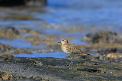 Pacific golden plover - Pluvialis fulva (steveboer.com) Tags: calidrisminutilla leastsandpiper sandpiper bird animal shore wildlife water beach shorebird beak ocean sand ecosystem outdoor noperson fauna standing nature calidrid small outdoors sea food flora seashore ecoregion edge charadriiformes seabird wild walking body waterbird wet avian brown little pool rocky animalplanet pacificgoldenplover pluvialisfulva plover
