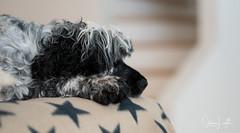 2018 - 01_06 - Landscape - Animal - Gertie 02.jpg (stevenlazar) Tags: 2018 grey gertie dog australia animals largs adelaide southaustralia cockerspaniel