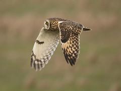 More SEO's! (Chris Bainbridge1) Tags: asioflammeus shortearedowl in flight cambridgeshire canon 5dsr