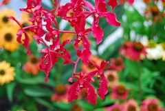 DSC_0317 (el-Obeid) Tags: singapur gardens by the bay orchid macro orquideas flowers