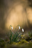 Winter Vibes.. (Bomonsted) Tags: bokeh bokehlicious galanthus carlzeiss makro planar 100mmf2