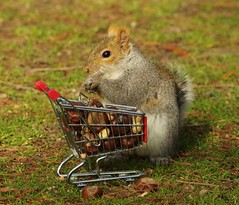 Squirrel with shopping cart (6) (Simon Dell Photography) Tags: winter spring grey animal nature together wildlife sheffield botanical gardens simon dell photography 2018 feb 24 with trolley shopping cart cute funny awesome mini micro full nuts
