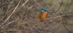 Kingfisher (moniquedoon) Tags: kingfisher ijsvogel birds wildlife wildlifephotography blue orange winter winterwatch natureperfection