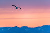 Seagull @ Disko Bay (dawvon) Tags: greenlandsea greenland sunrise sunset nature midnightsun nordic ilulissat bluehour arcticocean magichour diskobay arcticcircle bird qaasuitsup twilight animals seagull europe atlanticocean travel dawn diskobugten dusk goldenhour grønland gull halflight jacobshaven jakobshavn kalaallitnunaat qaasuitsupkommunia qeqertarsuuptunua qaasuitsupkommune wildlifephotography