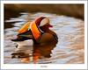 Mandarin at Balloch (flatfoot471) Tags: 2017 balloch bird duck mandarin march nature normal riverleven rural scotland spring unitedkingdom westdunbartonshire gbr