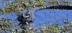 American Alligator (Alligator mississippiensis) (ehsimons) Tags: americanalligator alligatormississippiensis sweetwaterwetlandspark nursery babies