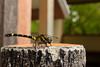 オナガサナエ ♀ (Melligomphus viridicostus) (Hachimaki123) Tags: 日本 japan kyoto 京都 永観堂 eikando zenrinji 禅林寺 animal insect insecto 虫 動物 odonata odonato libélula dragonfly トンボ オナガサナエ ♀ melligomphusviridicostus