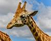 Rothschild Giraffe (Merrillie) Tags: rothschildgiraffe neck wildlife giraffa animals fauna zoo giraffe animal