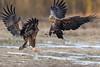 Sea Eagle (eric-d at gmx.net) Tags: eagle seaeagle seeadler adler eric ericdgmxnet birdofprey