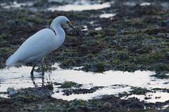 IMG_2903 (armadil) Tags: mavericks beach beaches californiabeaches bird birds egret snowyegret